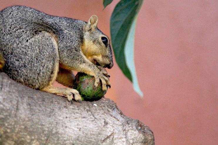 eekhoorn avocado