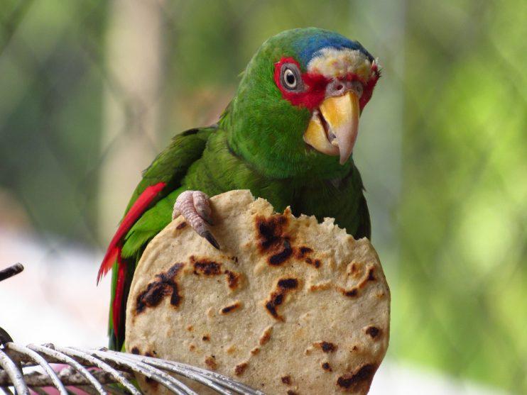 papegaai tortilla