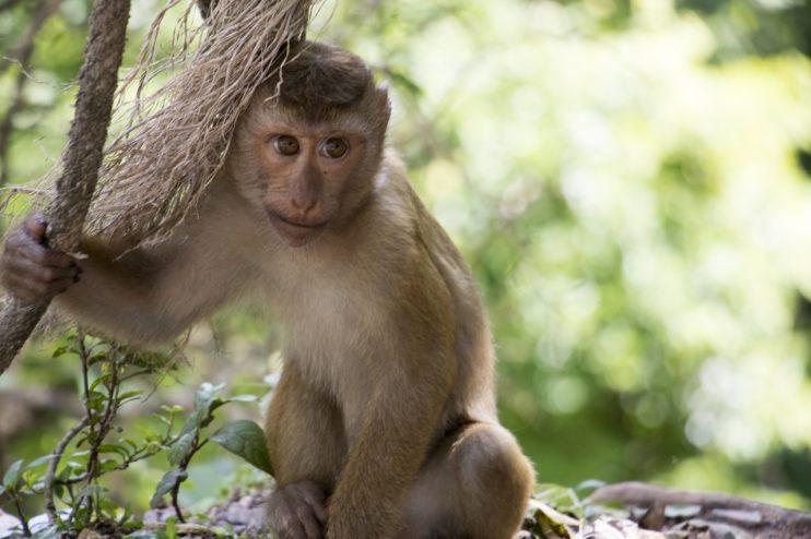 aap thailand mishandeling kokosmelk dieren peta